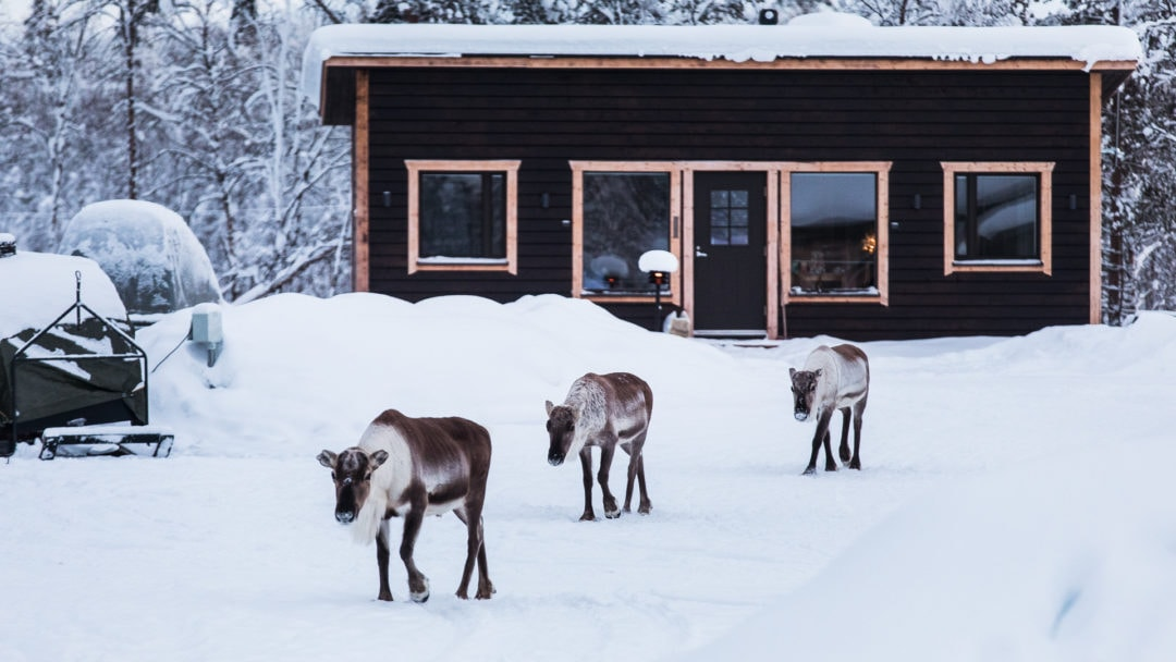 Local reindeer at the Aurora Village Ivalo.